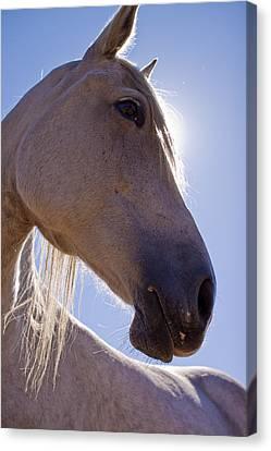 White Horse Canvas Print by Dustin K Ryan