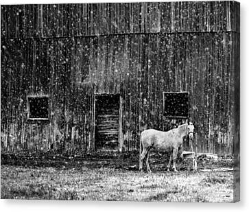 White Horse In A Snowstorm In Bw Canvas Print