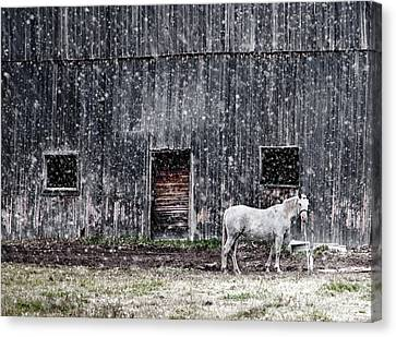 White Horse In A Snowstorm  Canvas Print