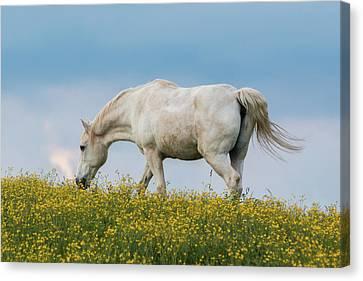 White Horse Of Cataloochee Ranch 2 - May 30 2017 Canvas Print
