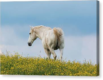 White Horse Of Cataloochee Ranch - May 30 2017 Canvas Print