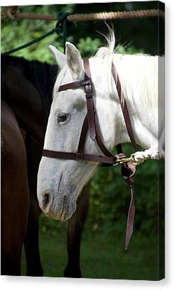 White Horse Profile Canvas Print by Thomas Woolworth