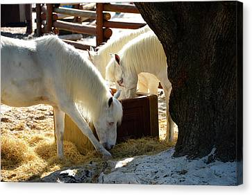 Canvas Print featuring the photograph White Horses Feeding by David Lee Thompson