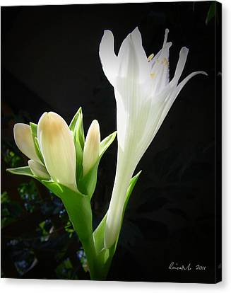 Canvas Print featuring the photograph White Hostas Blooming 7 by Maciek Froncisz