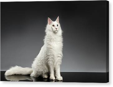 White Huge Maine Coon Cat On Gray Background Canvas Print by Sergey Taran