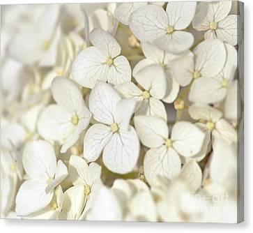 Canvas Print featuring the photograph White Hydrangea by Kerri Farley