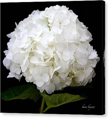 White Hydrangea Canvas Print by Kume Bryant
