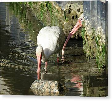 Canvas Print featuring the photograph White Ibis Couple by George Randy Bass