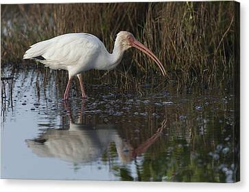 White Ibis Feeding Canvas Print
