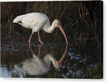 White Ibis Feeding In Morning Light Canvas Print