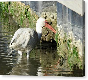 White Ibis Headed Home Canvas Print by George Randy Bass