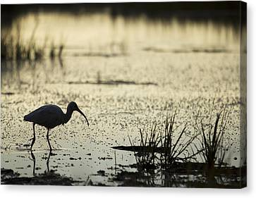 White Ibis Morning Hunt Canvas Print