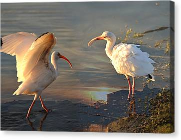 White Ibis - Ready For The Roost Canvas Print