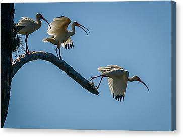 White Ibis Takeoff Canvas Print by Tom Claud