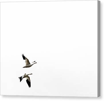 White In Flight Canvas Print by Britt Runyon