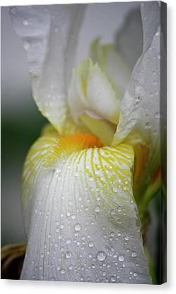 White Iris Study No 7 Canvas Print by Teresa Mucha