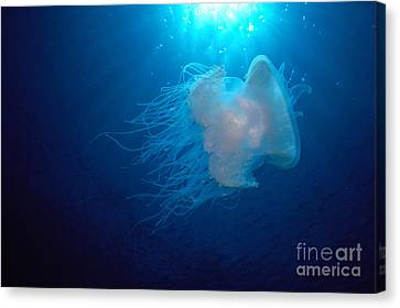White Jellyfish Canvas Print by Dave Fleetham - Printscapes
