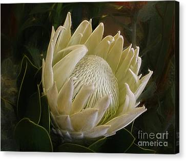 Canvas Print featuring the photograph White King Protea By Kaye Menner by Kaye Menner