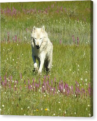 White Lady, Alpha Female Canyon Pack Canvas Print by Nicole Belvill