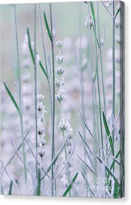 Canvas Print featuring the photograph White Lavender  by Andrea Anderegg