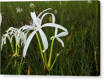 White Lilies In Bloom Canvas Print by Christopher L Thomley