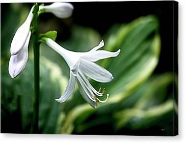 White Lily 1 Canvas Print