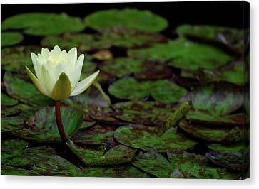 Canvas Print featuring the photograph White Lily In The Pond by Amee Cave