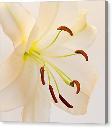 White Lily Square Version Canvas Print by Bill Swindaman
