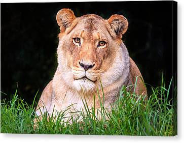 Canvas Print featuring the photograph White Lion by Alexey Stiop