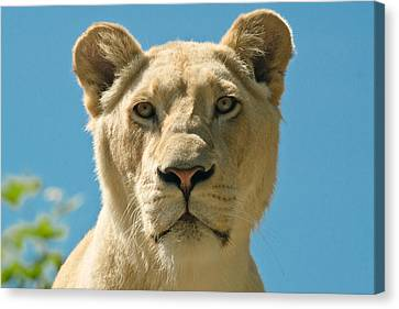 White Lion Canvas Print by Scott Carruthers