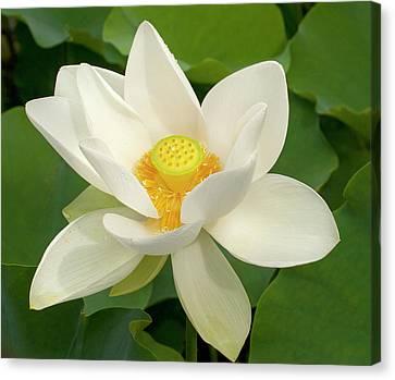 White Lotus Canvas Print by Elvira Butler