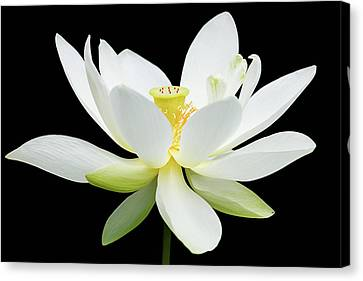 White Lotus On Black Canvas Print by Dawn Currie