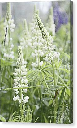 White Lupines Canvas Print