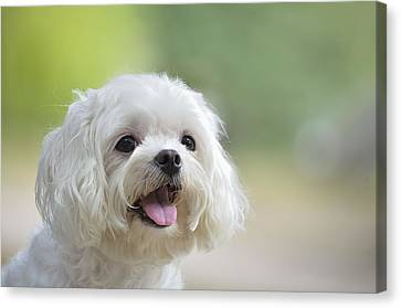 White Maltese Dog Sticking Out Tongue Canvas Print by Boti