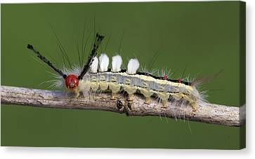 White-marked Tussock Moth 2 Canvas Print by David Lester