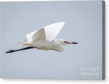 Bif Canvas Print - White Morph Reddish Egret by Debra Martz