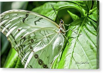 Canvas Print featuring the photograph White Morpho Butterfly by Joann Copeland-Paul