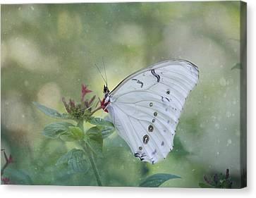 Pompano Canvas Print - White Morpho Butterfly by Kim Hojnacki
