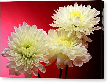 White Mums Against Red Canvas Print by Laura Mountainspring