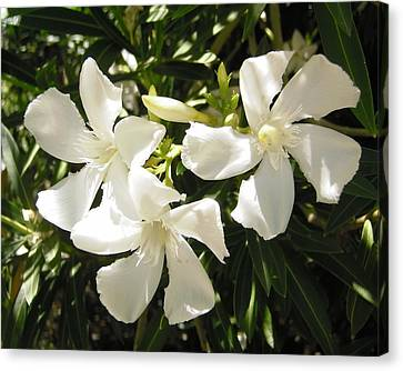 White Oleander Flowers Canvas Print by Stephanie Moore