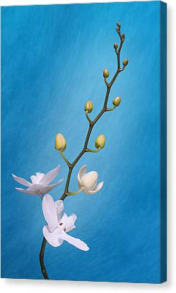 White Orchid Buds On Blue Canvas Print
