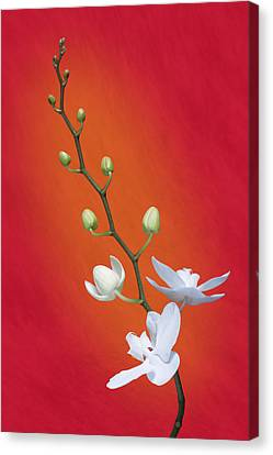White Orchid Buds On Red Canvas Print