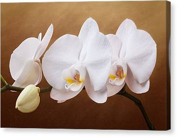 White Orchid Flowers And Bud Canvas Print by Tom Mc Nemar