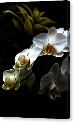 White Orchid With Dark Background Canvas Print