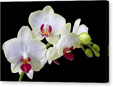 White Orchids Canvas Print by Garry Gay