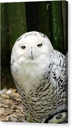 White Owl Canvas Print by Rainer Kersten