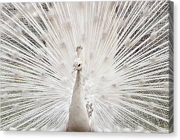 Punjab Canvas Print - White Peacock, Lahore by pharan Tanveer