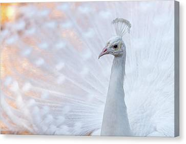Canvas Print featuring the photograph White Peacock by Sebastian Musial