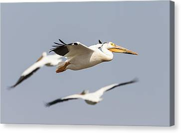 White Pelican 6-2015 Canvas Print by Thomas Young