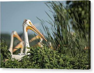 Canvas Print featuring the photograph White Pelican 7-2015 by Thomas Young